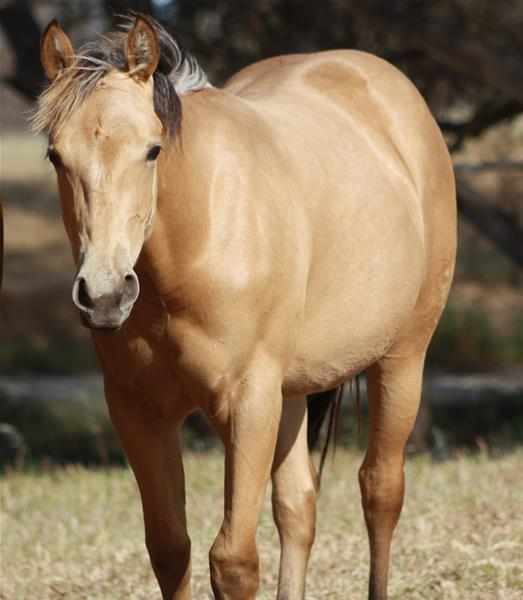 Q Horses For Sale Q BRED QUARTER HORSE |...