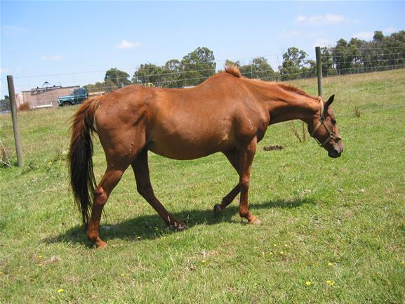 Chestnut Thoroughbred - Lady | Top Horse