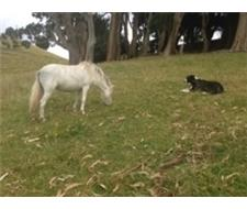 Lovely sabino/ overo mini horse filly