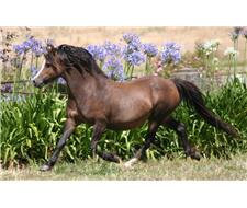 Registered Welsh A Broodmare