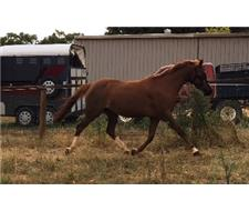 Striking Riding Pony Mare