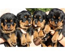 Quality Rottweiller Puppies For Sale