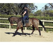 Thoroughbred Gelding For A