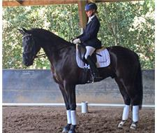 Quiet Preliminary Dressage Gelding
