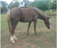 Welsh Cob Filly SOLD