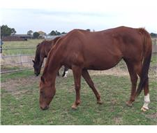 Lovely Well Bred Mare