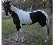 Top Quality Homozygous Tobiano Filly