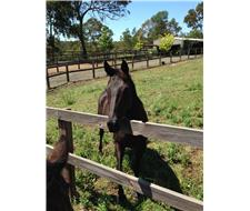 Beautiful Black Thoroughbred Mare