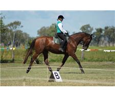 Warmblood Competition Gelding