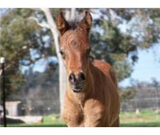 Showy Arab Filly For Sale