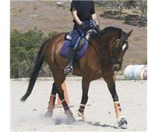 EDUCATED 16hh THOROUGHBRED GELDING