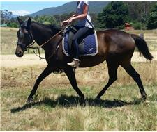 15hh thoroughbred mare