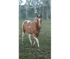 TRIPLE REGISTERED RED DUN MARE