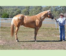 PALOMINO COLOURED APPALOOSA STALLION