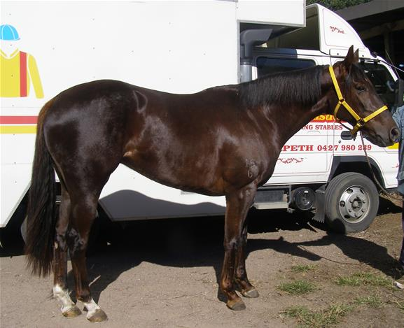 Thoroughbred Liver Chestnut Mare Top Horse