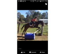 Hugo thoroughbred gelding