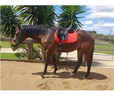 Bentley- 4 yo Thoroughbred Gelding
