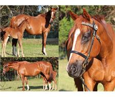 Stunning Mare infoal for a pally foal