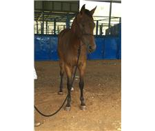 Pretty Registered Appy Filly