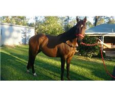 Stunning Thoroughbred Project Mare