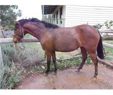 Registered Riding Pony Filly