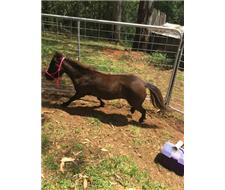 URGENT MINI PONY FOR SALE