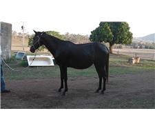 BLACK PAINT MARE GUARANTEED COLOR FOAL