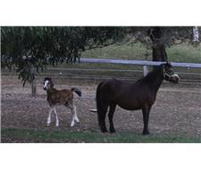 WELSH A Broodmare with Filly at foot