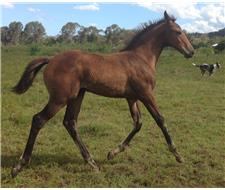 Warmblood Filly without the price tag