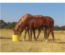 Liver Chestnut Gelding Yearling