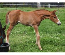 Arabian Warmblood Colt