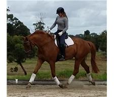 5 year old warmblood gelding