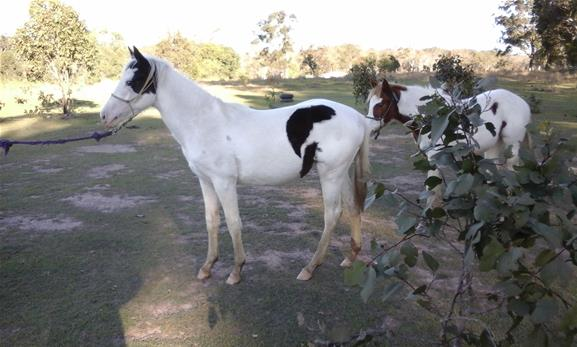 100% COLOUR PRODUCING REG PAINT FILLY