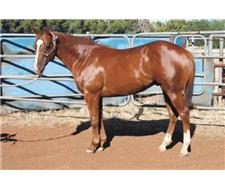 Top quality QH youngster