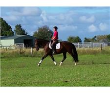 Quiet and Talented 6yo HSH Gelding