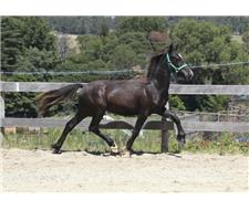 Black welsh section C gelding