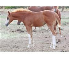 Chestnut overo Paint Filly - PHAA