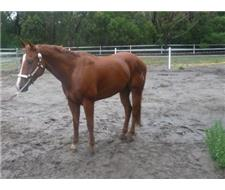 REGISTERED QH GELDING Q-59271