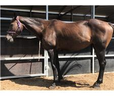 12 Year Old Brown Stock Horse Mare