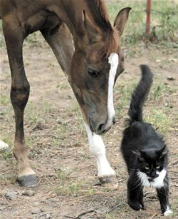 This foal is lowering his head to view the cat with both eyes.