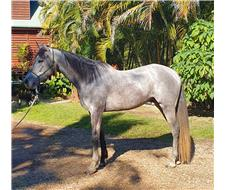 Anglo Arab gelding
