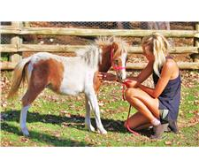 Pixie Valley Eggnog Pinto Gelding