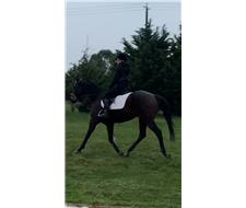 Show horse/eventing/dressage