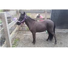 Black Miniature Filly