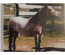 Full American Reg Miniature Broodmare