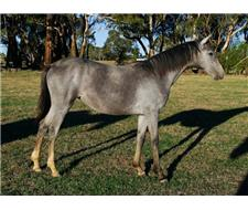 Grey 2yo Filly