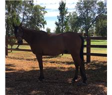 Bay Arabian gelding