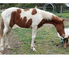 Flashy Paint Gelding