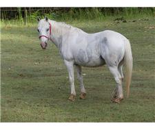 Lovely Silver Pinto Mare