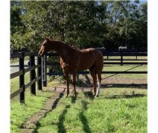 Quality Elegant Thoroughbred Gelding
